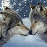 hurler avec les loups