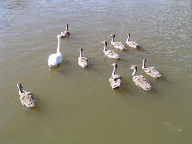 Famille de cygnes avec 9 petits